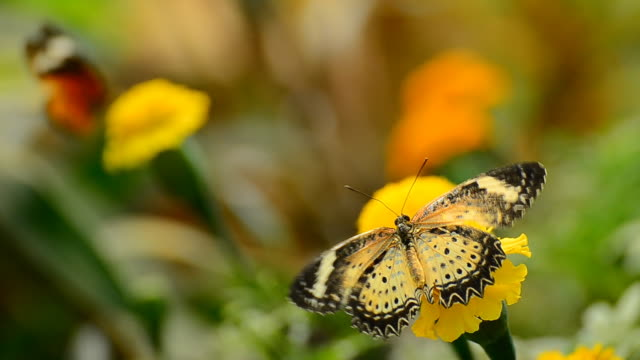 leopard lacewing butterfly - two animals stock videos & royalty-free footage