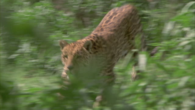 a leopard leaps down from a tree and runs through tall grass in the savanna of africa. - spotted stock videos and b-roll footage