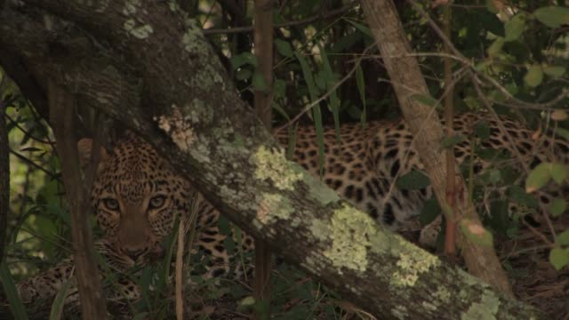 a leopard lies camouflaged in the thicket of the african woodlands. available in hd. - 隠れる点の映像素材/bロール