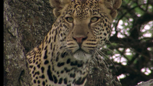 Leopard looks around in tree Available in HD.