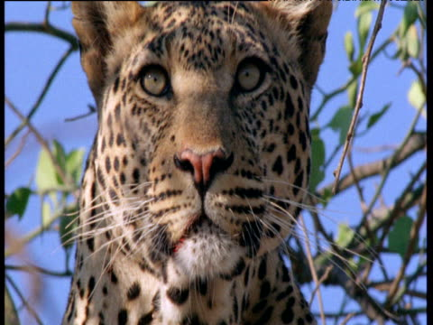 leopard looks around in tree - animal markings stock videos & royalty-free footage