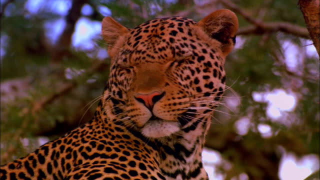 a leopard looks around. - leopard stock videos & royalty-free footage