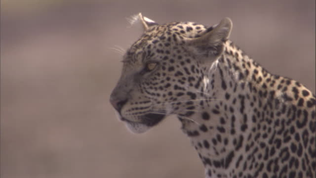 A leopard looks out over the savannah in the Serengeti. Available in HD.