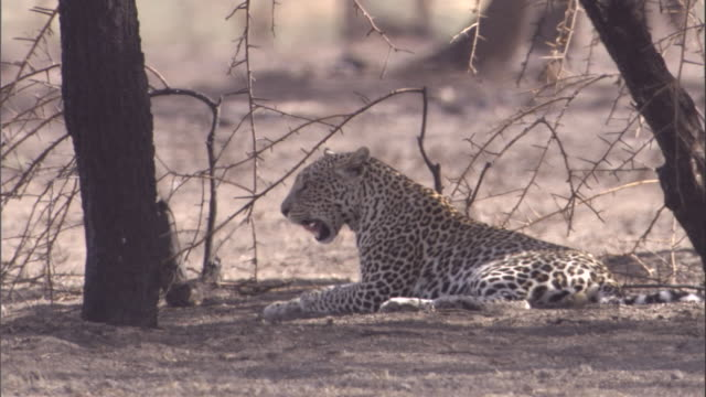 stockvideo's en b-roll-footage met a leopard lounges under a tree in the serengeti. available in hd. - achterover leunen