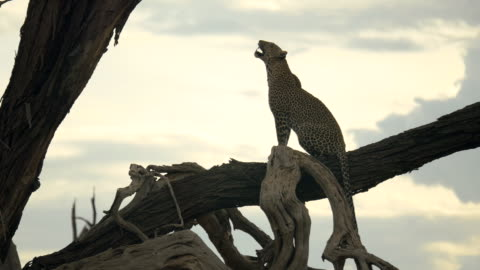 leopard on tree branch in samburu national park, kenya - leopard stock videos & royalty-free footage