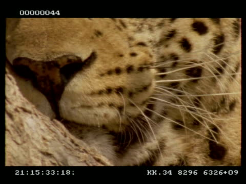 leopard, panthera pardus, bcu mouth and nose, botswana - schnurrhaar stock-videos und b-roll-filmmaterial