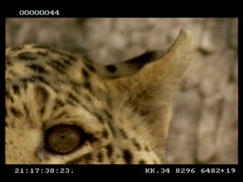vídeos y material grabado en eventos de stock de leopard, panthera pardus, ear twitching and eye, cu, botswana - onda irregular