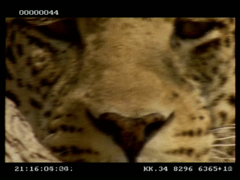 leopard, panthera pardus, face, tilt down face in profile from eye to nose and mouth, cuc - schnurrhaar stock-videos und b-roll-filmmaterial