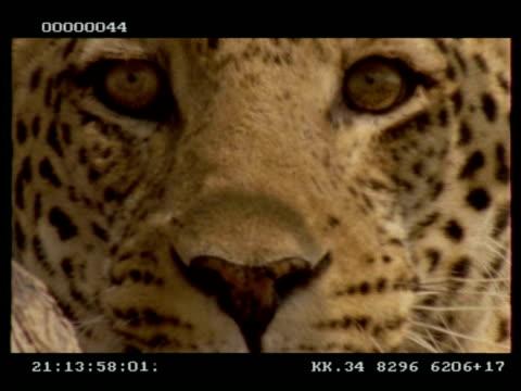 leopard, panthera pardus,  face, turns away from camera, cu, botswana - schnurrhaar stock-videos und b-roll-filmmaterial