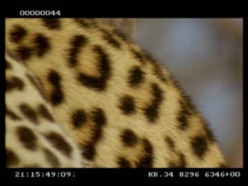 leopard, panthera pardus, fur texture, cu, botswana - animal markings stock videos & royalty-free footage