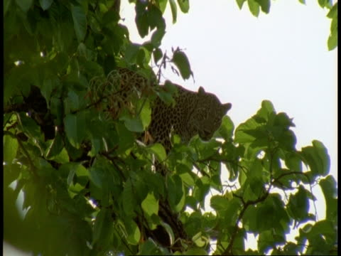 ms leopard, panthera pardus, in tree, bandhavgarh national park, india - bandhavgarh national park stock videos and b-roll footage