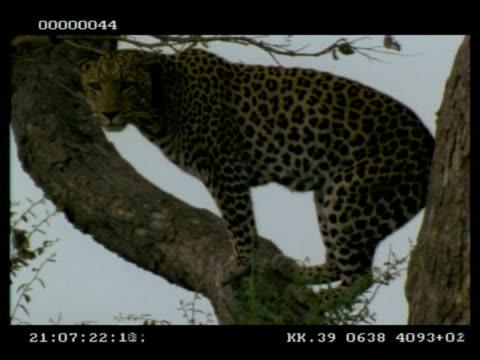 leopard, panthera pardus, in tree, looking around, ms, botswana - tierfarbe stock-videos und b-roll-filmmaterial