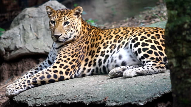 leopard, panthera pardus kotiya, big spotted cat lying on the tree in the nature habitat - sri lanka stock videos & royalty-free footage