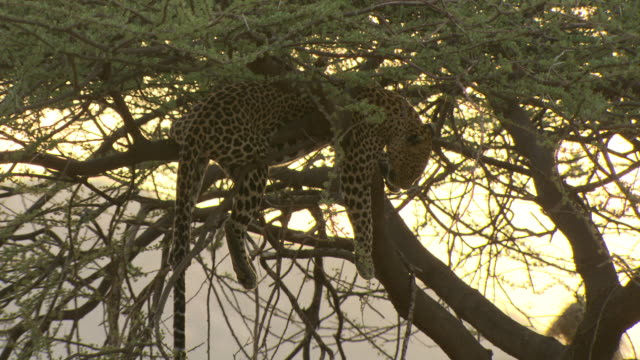 leopard, panthera pardus, lying in tree at sunset, main shot, kenya - laziness stock videos and b-roll footage