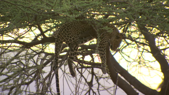 leopard, panthera pardus, lying in tree at sunset, pull out, kenya - 怠惰点の映像素材/bロール