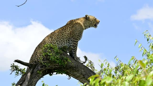 vídeos y material grabado en eventos de stock de leopard, panthera pardus, on tree, masai mara national reserve, kenya, africa - felino grande