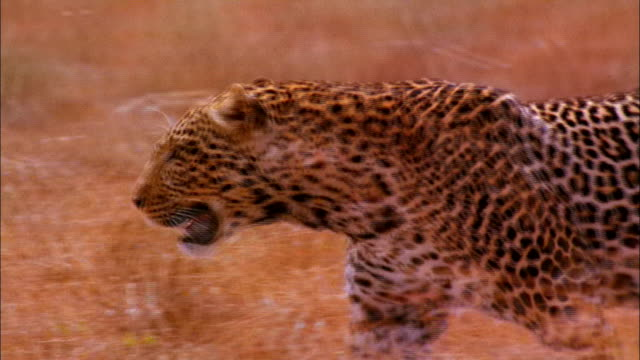 a leopard prowls through dry grass. - leopard stock videos & royalty-free footage