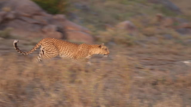 Leopard raning