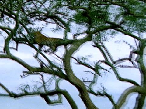 vídeos de stock e filmes b-roll de leopard reclining tree on branch staring forward. - encostado