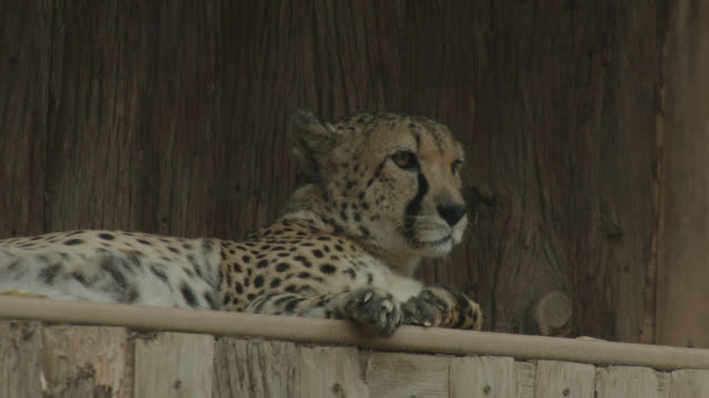 leopard relaxing in zoo enclosure - animals in captivity stock videos & royalty-free footage