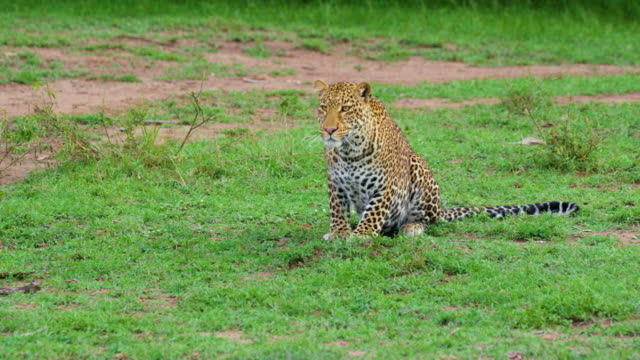 vídeos y material grabado en eventos de stock de leopard relaxing maasai mara, kenya, africa - animales acechando