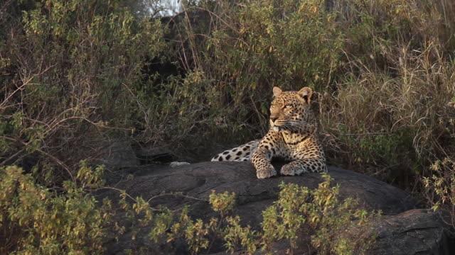 Leopard Resting on a rock 1