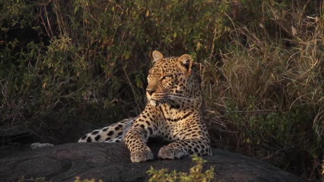 Leopard Resting on a rock 2