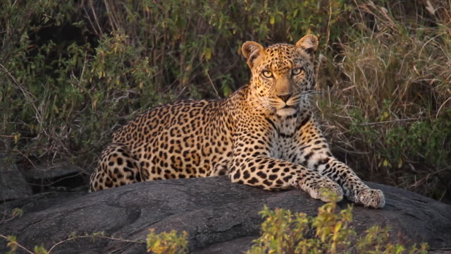 Leopard Resting on a rock 3