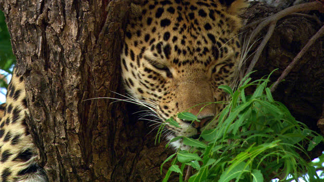 leopard resting on tree branch -low angle view - ecosystem stock videos & royalty-free footage