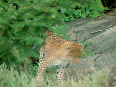 leopard rubbing against hanging branch of bush scent marking bush territory - igneous stock videos & royalty-free footage