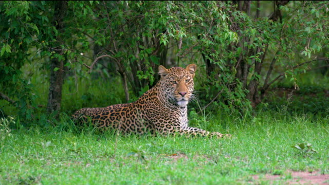 Leopard Sat Under Bush Maasai Mara, Kenya, Africa