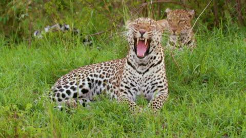 leopard sat yawning, maasai mara, kenya, africa - leopard stock videos & royalty-free footage