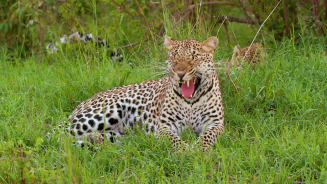 leopard sat yawning, maasai mara, kenya, africa - ヒョウ点の映像素材/bロール