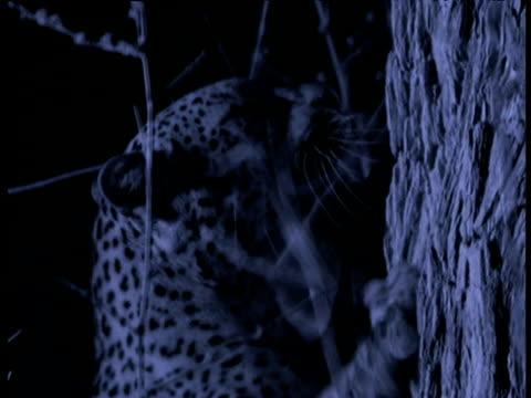vídeos de stock, filmes e b-roll de leopard scratches claws on tree to mark territory, south luangwa national park, zambia - pelagem do animal