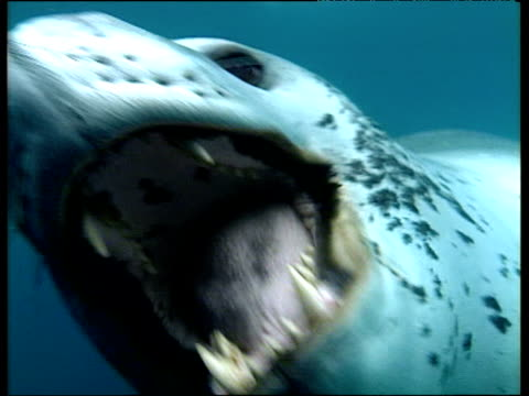 Leopard seal bites at camera, Antarctica