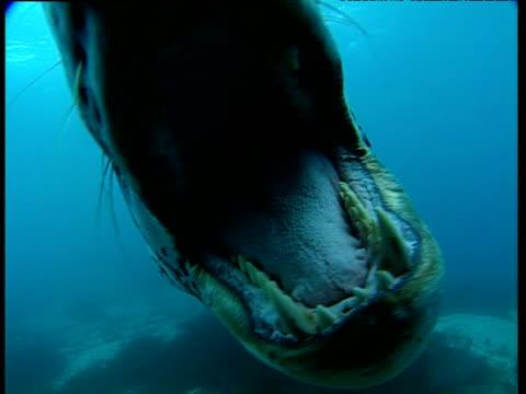 Leopard seal bites camera, Dream Island