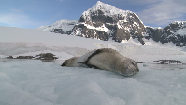 Leopard seal (Hydrurga leptonyx) on ice floe. Antarctic Peninsula