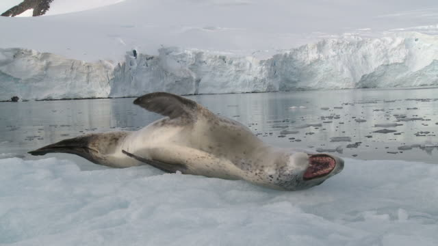 leopard seal (hydrurga leptonyx) on ice floe. antarctic peninsula - seal animal stock videos and b-roll footage