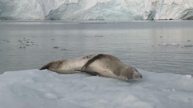 Leopard seal (Hydrurga leptonyx) on ice floe. Antarctic Peninsula