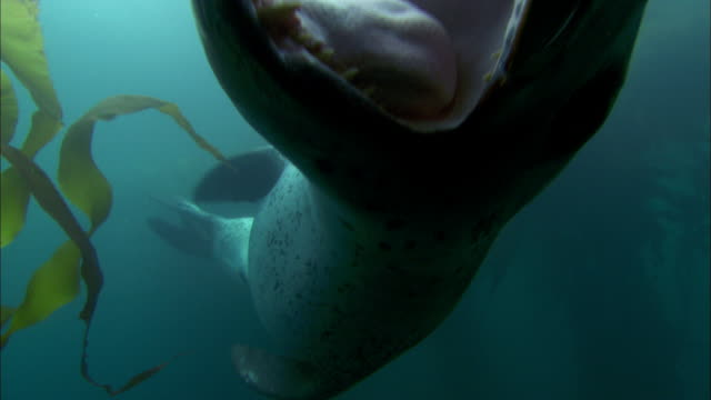 Leopard Seal opening mouth and swimming underwater