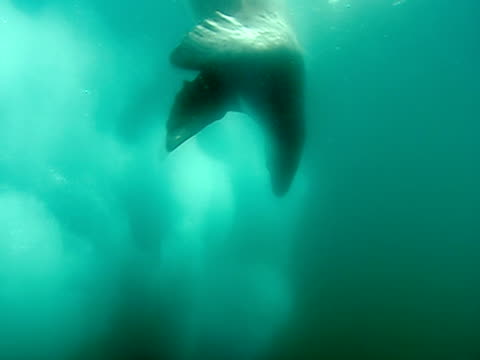 ms, leopard seal swimming amongst ice, underwater view, antarctic  - aquatic organism stock videos & royalty-free footage