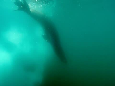 ms, pan, leopard seal swimming amongst ice, underwater view, antarctic  - aquatic organism stock videos & royalty-free footage