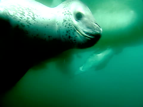 vidéos et rushes de cu leopard seal swimming amongst ice, underwater view / antarctica - organisme aquatique