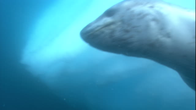 a leopard seal swims below an ice hole in antarctica. available in hd. - seals stock videos and b-roll footage