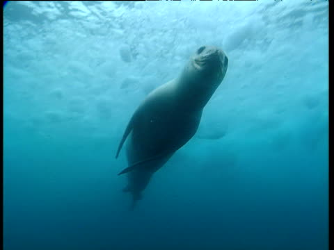 Leopard seal swims over camera, then turns and swims away, Dream Island