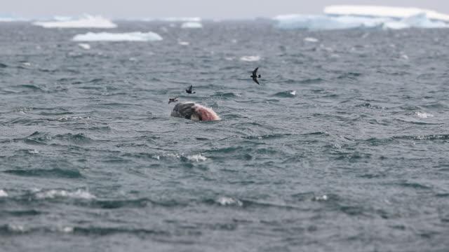 stockvideo's en b-roll-footage met leopard seal violently ripping apart a penguin - boven water komen