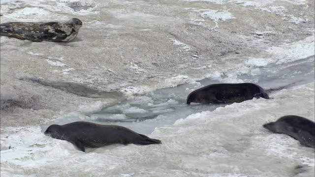 leopard seals crawling - antarctica drone stock videos & royalty-free footage
