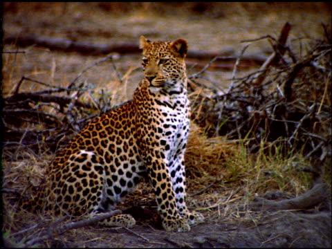 vídeos y material grabado en eventos de stock de leopard sits near dry bush land, botswana - postura
