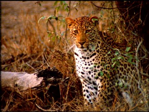 vídeos de stock, filmes e b-roll de leopard sits near shrubs twitching ears and rubbing nose with paw, botswana - linha ondulada