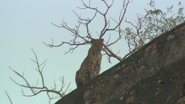 leopard sitting on the fort wall, looking around the site - low angle view - wildlife reserve stock videos & royalty-free footage